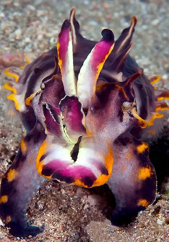 Flamboyant cuttlefish... the reason for my recent obsession with cuttlefish is because of mt science class where we are watching a documentary on them! ❤