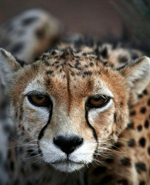 Asiatic cheetahs face extinction in Iran. Iranian Cheetah Society works with the UN to help save this species.