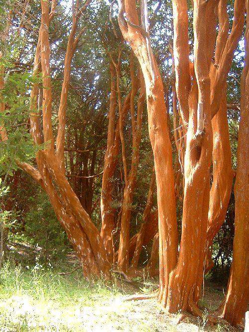 tronco de arrayan