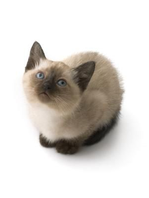 siamese kittens | Questions About Siamese Kittens