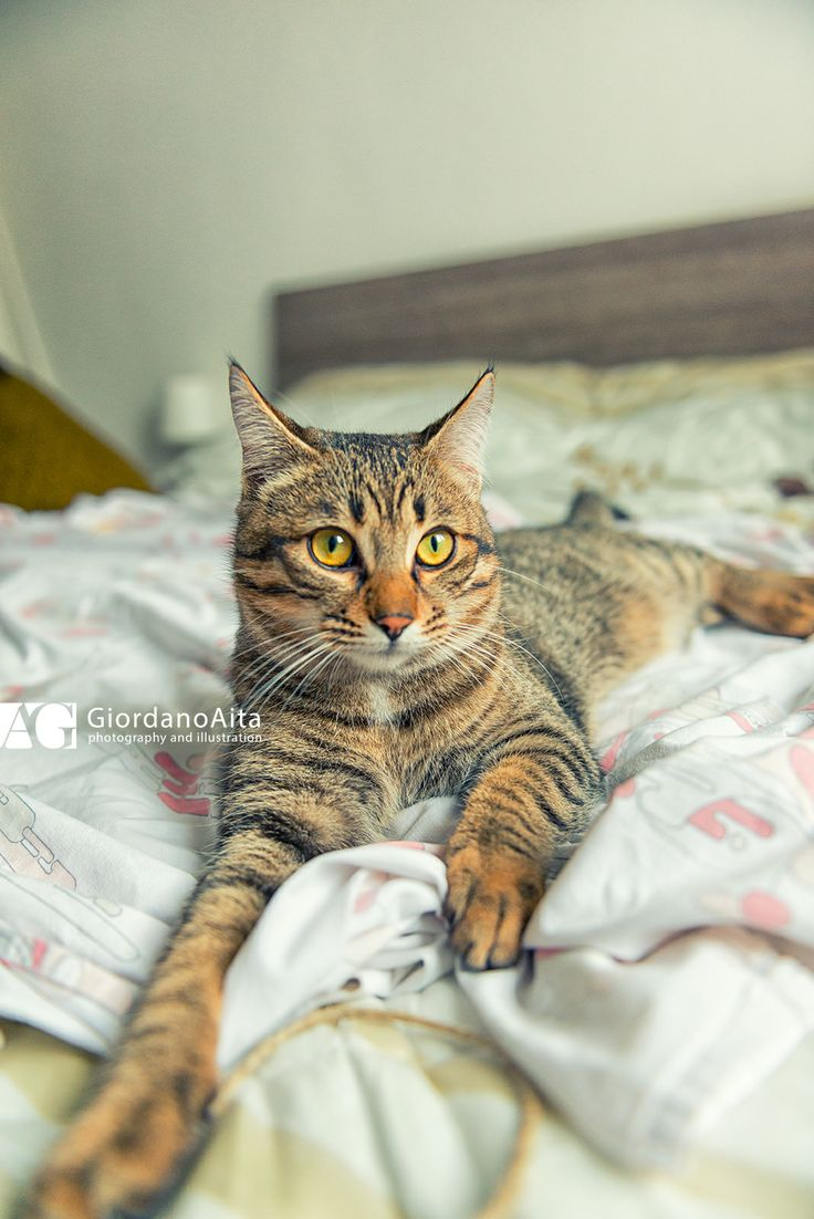 Kipsy the cat relax on bed