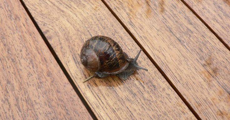 Proyectos de ciencias con caracoles. Los caracoles son pequeñas criaturas que viven en conchas. Tienen la capacidad de vivir en la tierra y en el agua. Los caracoles no tienen extremidades y tienen que arrastrarse a través de las superficies. Al hacerlo, dejan detrás de un líquido acuoso. Los proyectos de ciencias son una manera de aprender acerca de estas fascinantes criaturas.