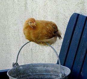 Kippen houden in de tuin. Wat eet een kip? voordelen en nadelen van kippen