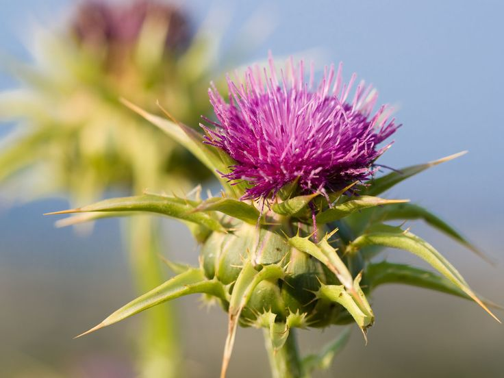 Silybum marianum Milk thistle is a flowering plant that grows throughout the world, usually in dry sunny areas. Its name refers to the milky white sap that