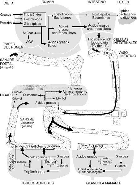 Digestión, absorción y metabolismo de los lípidos en monogástricos y rumiantes. 1