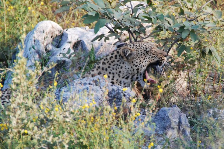 A leopard will kill its prey with one swift bite to the neck, breaking it.
