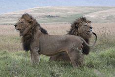 Passage To Africa - Serengeti - Tanzania #Lions #Serengeti