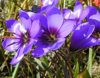 Blue pride of Nieuwoudtville ~ Geissorhiza splendidissima Diels