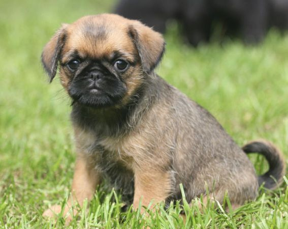 images of wire haired pug wire diagram images inspirations wire pug and terriers
