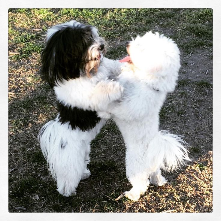 Dexter and his new Havanese buddy, Neo Maltes