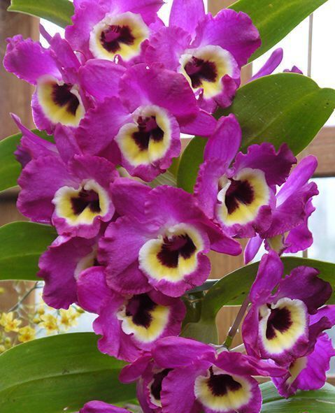 As famosas orquídeas Olho-de-boneca (Dendrobium hybrid)🌸  Por conta da facilidade de cultivo, as orquídeas olho-de-boneca são uma ótima opção para quem quer começar a se aventurar no mundo dessas belas plantas. São muitos os cultivares da espécie.  A orquídea perene é típica de clima tropical e precisa de invernos bem marcados para estimular sua floração na primavera. Cultive-a presa aos caules de árvores e palmeiras ou em vasos com substrato específico para orquídeas.  Embora aprecie…