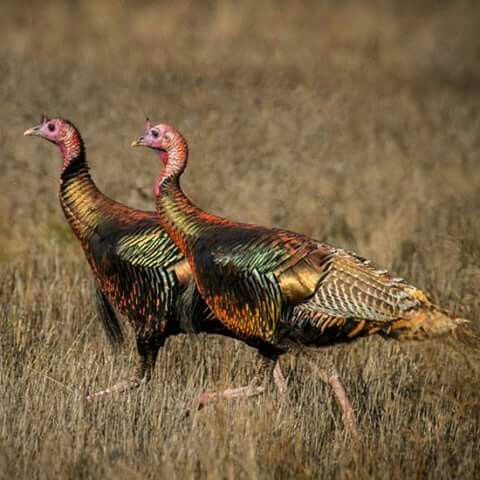 beautiful turkey birds