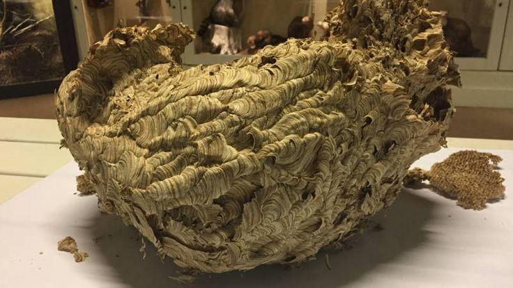 Op de zolder van een vrijstaand huis in Holten is een wespennest gevonden van tienduizenden wespen. De bewoners hebben nooit iets gemerkt.