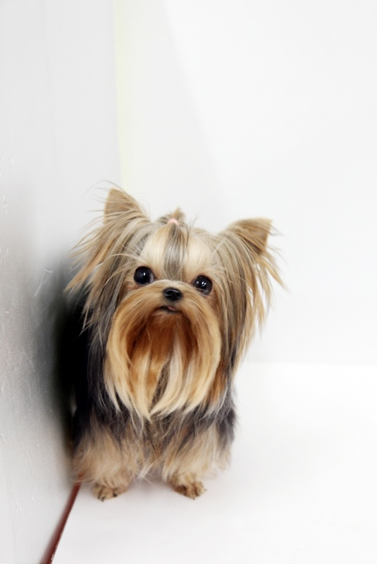 Web site is Boutique Teacup Puppies--they have him for sale---full grown---2 lbs for a price of $16500....really ?????