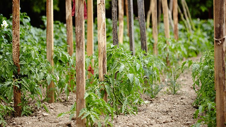 Tomaten zijn Zuiderse planten, die het liefst in een droge omgeving groeien. In ons klimaat gebeurt dat bij voorkeur in een kas, maar het kan ook buiten. Ben je dan zeker van een geslaagde oogst? Neen. Je hele teelt valt of staat bij goed weer. Maar wie niet waagt, die krijgt in dit geval helemaal…