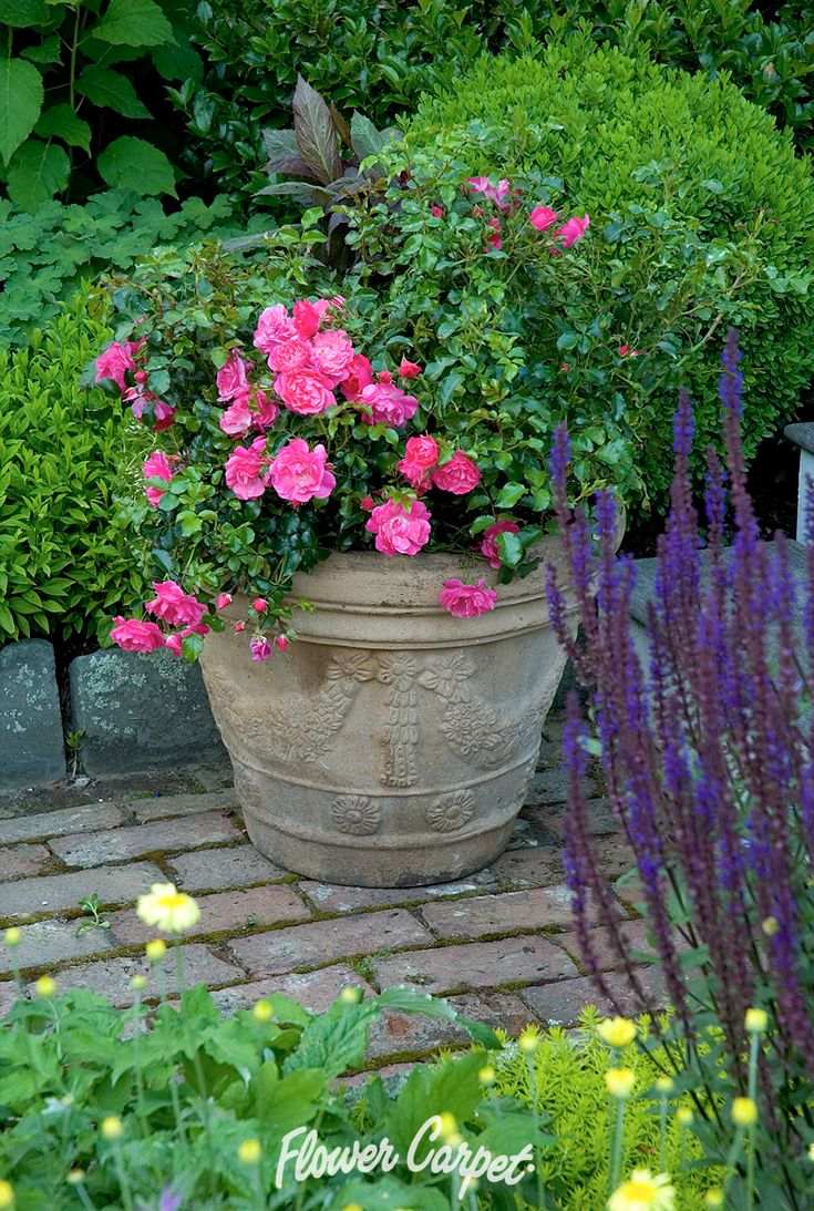 65 best garden designs with roses images on pinterest carpets flower carpet pink the original eco rose was introduced to american gardeners in dhlflorist Image collections