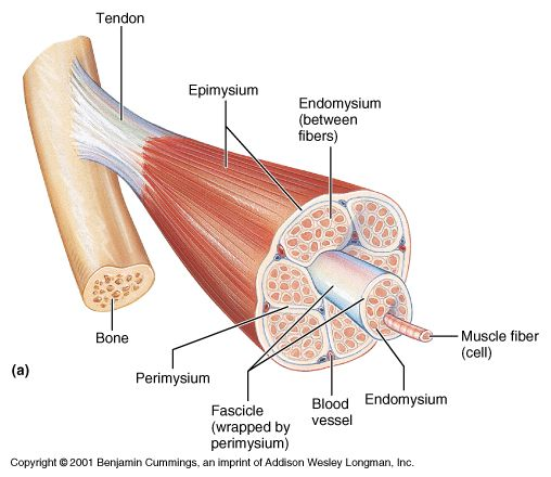 Layers Of Muscle Diagram - Schematics Wiring Diagrams •