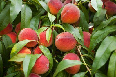 Ein Pfirsichbaum wächst besser in geschützter Lage