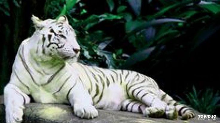 Dingo - Valkoiset Tiikerit https://youtu.be/dAKRf6xvx1k