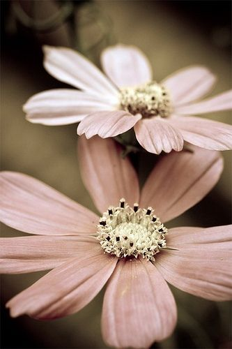 Beautiful Flower, Pink Flower, Soft Pink, Pastel Pink, Pink Petals, Pale Pink, Dusty Pink, Pink Daisies, Dusty Rose