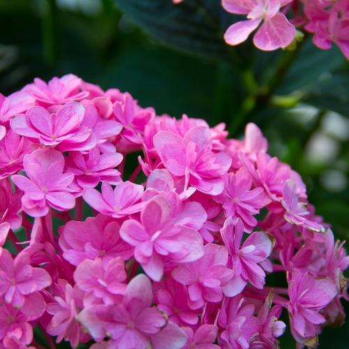Pin By Karisa On Gardens Flowers Hydrangea Macrophylla Hydrangea