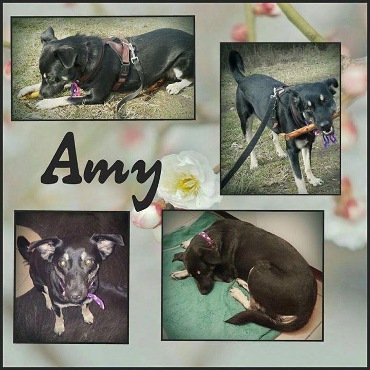 Amy ist 16 Monate alt hat eine Schulterhöhe von 47 cm und wiegt 18 kg. Sie ist unkastriert ist super verschmust und hat viel Energie.  Amy möchte viel lernen und lernt schnell. Sie ist verträglich mit Hunden Katzen mag sie nicht. An der Leine geht sie gut und stubenrein ist sie natürlich auch.   Amy ist auf Pflegestelle in Rödermark.  Sie ist geimpft und gechipt und wird nur nach Vorkontrolle und Schutzvertrag vermittelt.  Unsere Anzeigen sind tagesaktuell. Anfragen bitte NUR telefonisch…