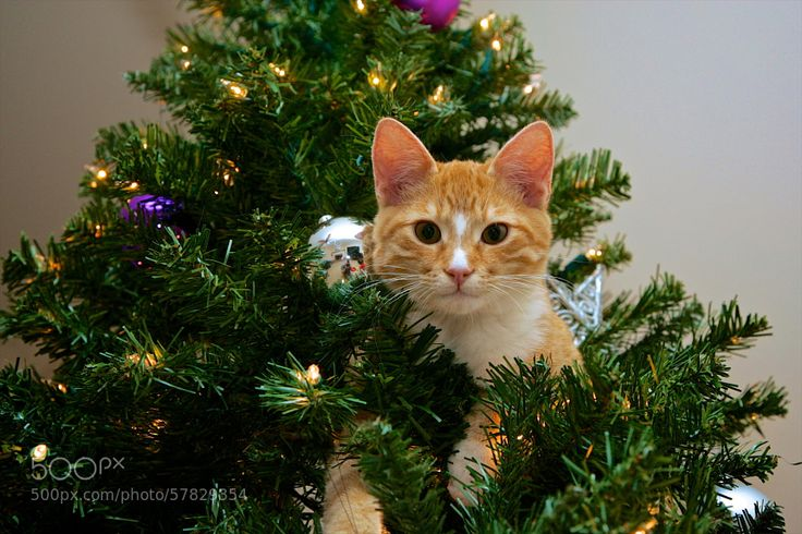 Cat up the Christmas Tree! by sjtphotographic