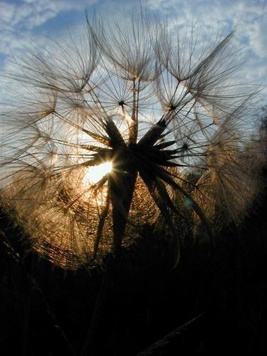 Dandelion #Macro #Photography
