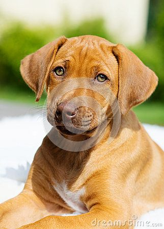 An african Rhodesian Ridgeback puppy is looking straight into the camera. The little dog has beautiful amber eyes. Image taken as a closeup from the front as portrait of blur background. The little dog is seven weeks of age.
