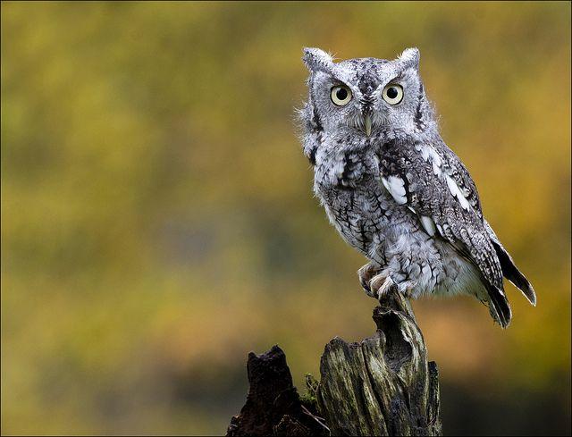 Eastern Screech Owl, Grey Phase