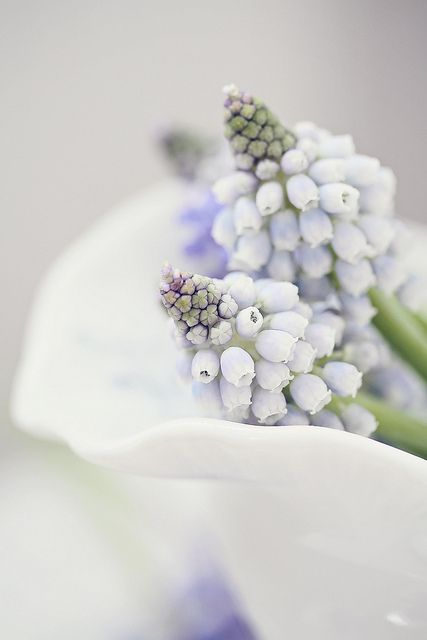 light blue grape hyacinths