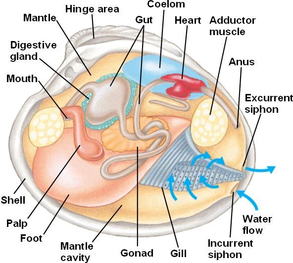 Interior Internal Clam Anatomy Full Hd Maps Locations Another