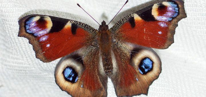 Dagpåfugløye ,Aglais io,Peacock Butterfly