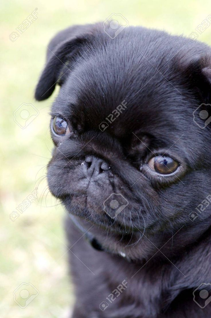 Black pug puppy in 2021 black pug puppies baby pugs