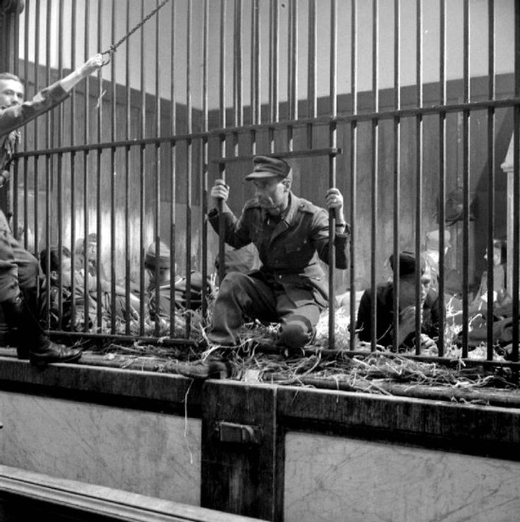 """Caption: In the newly liberated city of Antwerp, German prisoners and Belgian collaborators are rounded up, arrested and temporarily confined to a cage at the city zoo. Antwerp, Belgium. September 1944."""""""