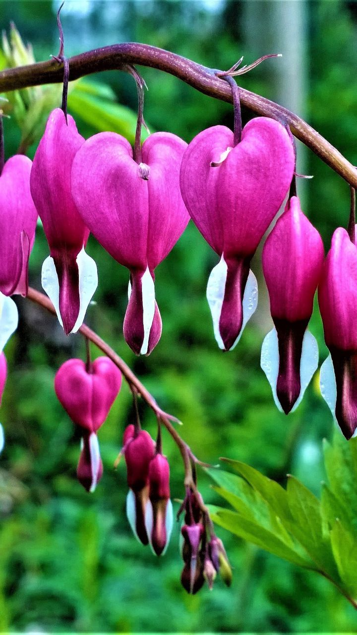 Bleeding Heart Flowers 720x1280 Wallpaper Bleeding Heart Flowers Android Art