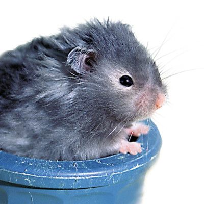 Long Haired Hamster, LOVE these I have a female and have had her for about a year now and wouldn't trade her for nothing, teddy bear hamsters are very sweet