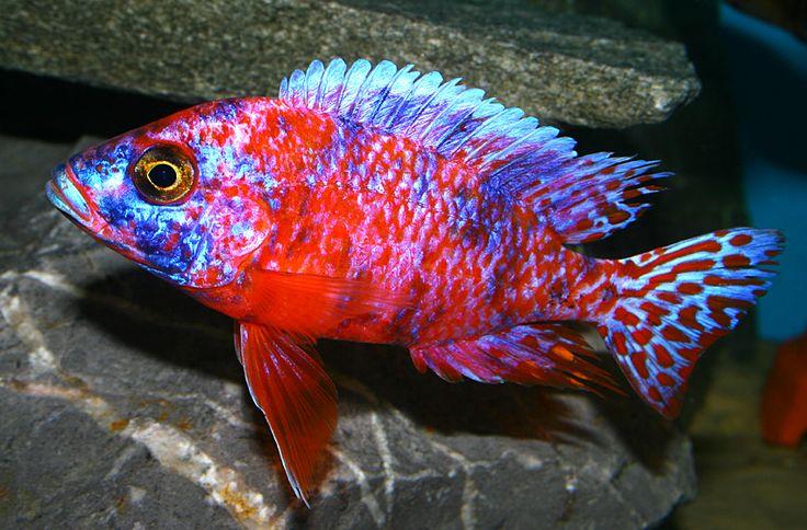 Aulonocara OB Red 2012