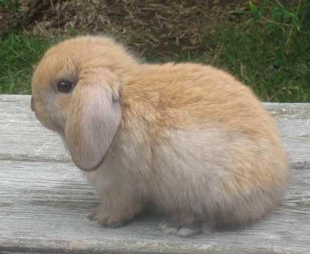 7 Best Images About Buns On Pinterest Dwarf Rabbit