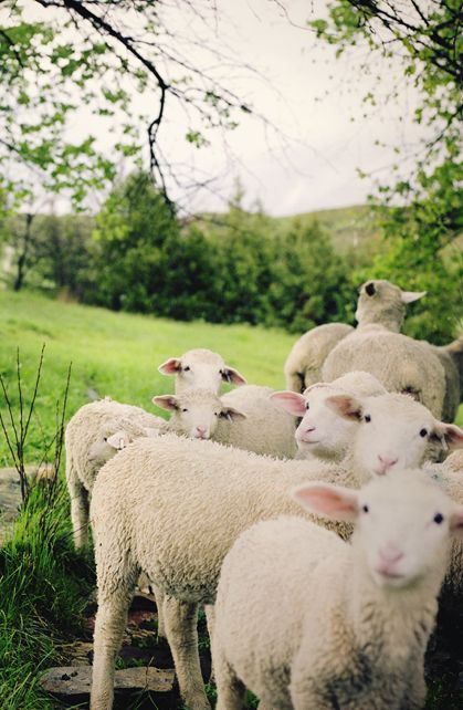 I think their looking for CT's favorite Farmers Market - Bozrah of course! 45 Bozrah Street, Bozrah, CT 06334. Sheep