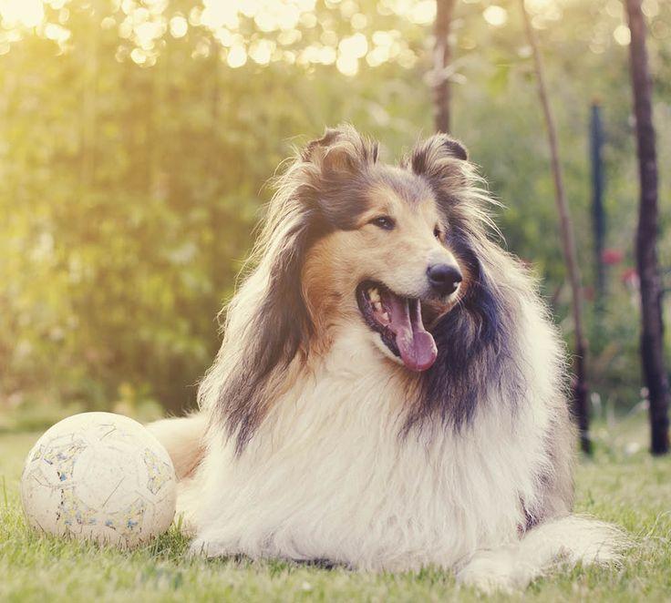 5 intressanta fakta om collie | Härliga Hund