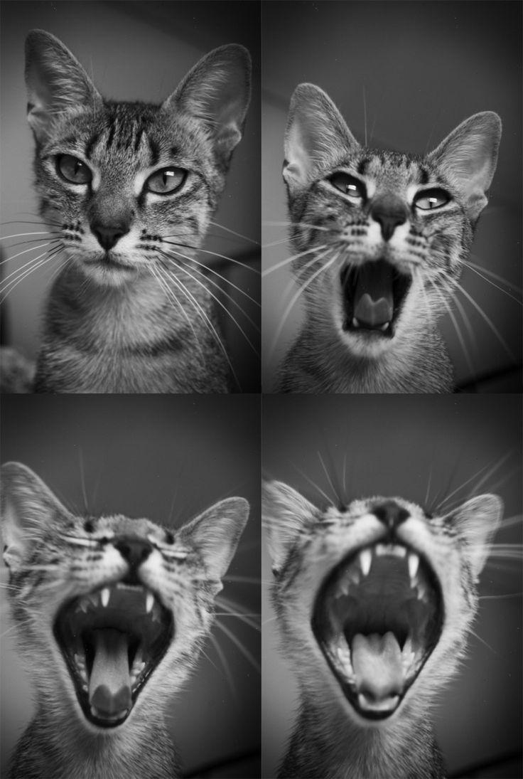 Feline Yawn.