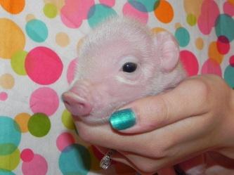 Available mini piglets!