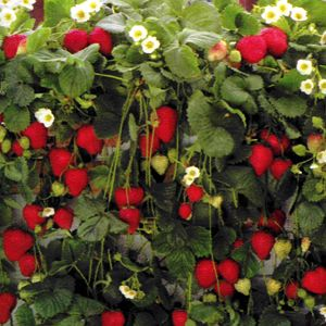 strawberry bushes! there's even an everbearing variety!