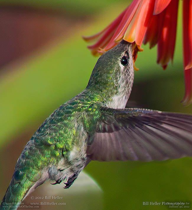 29 Best Images About Hummingbirds On Pinterest Arizona
