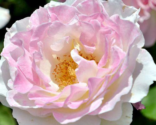 セラフィム花の様子