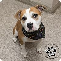 Pit Bull Terrier Dog for adoption in Troy, Ohio - Ivy