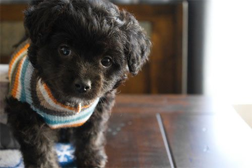 chihuahua+poodle+mix | Puppy Love Poodle Chihuahua Mix - JPEG Puppy Love Poodle Chihuahua Mix ...