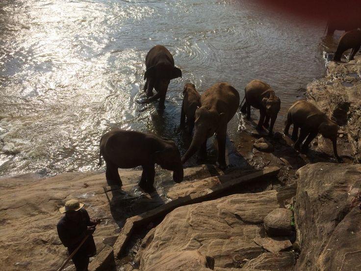 Elephants - afternoon bath in Pinnawala (Sri Lanka)
