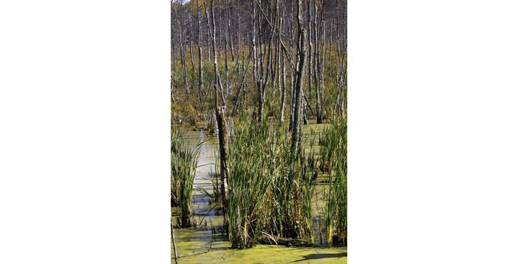 """This is the Hockomock Swamp located in South Massachusetts. The swamp is located in the center of the """"Bridgewater Triangle"""" which is an area with a lot of reported paranormal activity. There have been sightings of Bigfoot, Thunderbirds, and other strange paranormal events."""